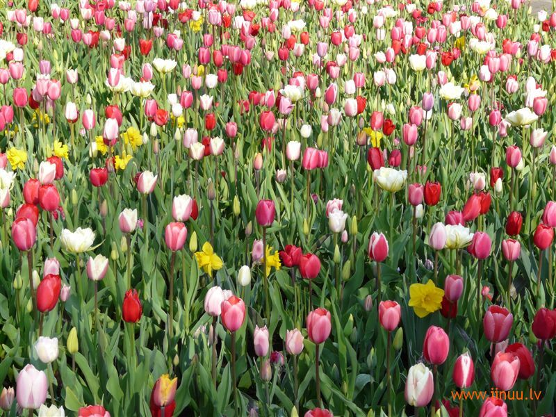 festival, flower, Holland, photo, tulip