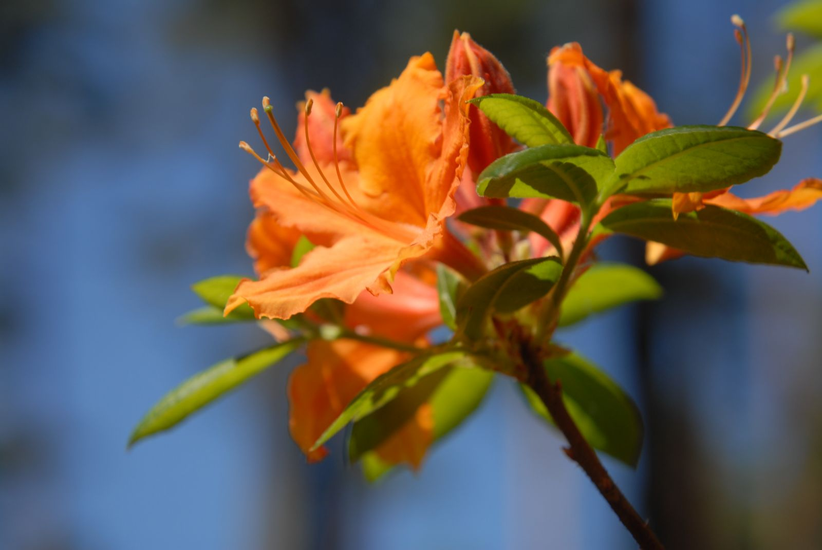 In Babite blooms rhododendron